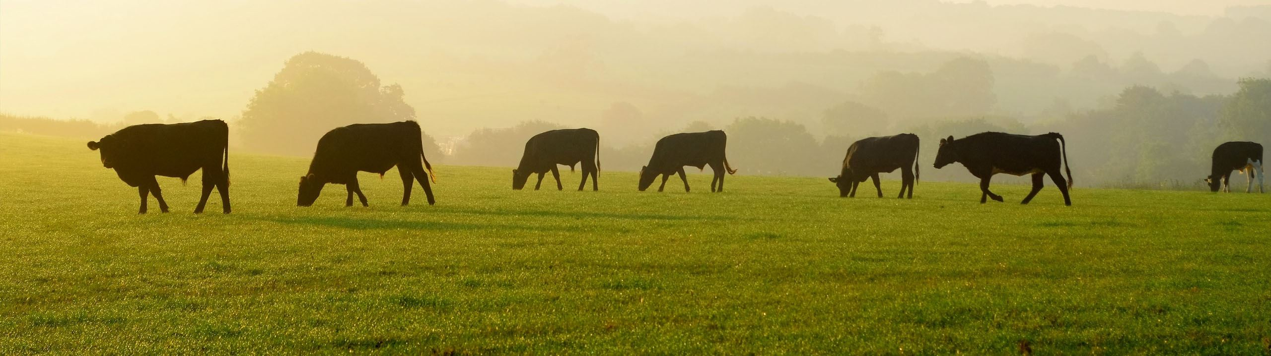 A Field of Cows Eating - Business Banking Promo